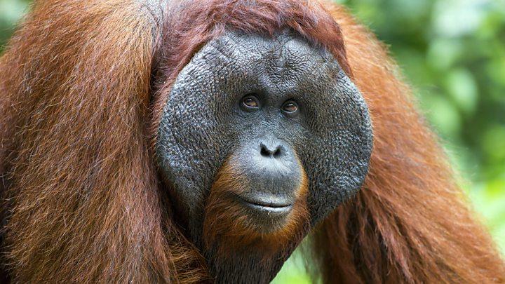 An orangutan's lesson in pitching